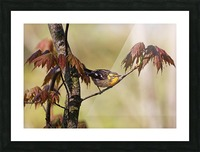 Blackburnian Warbler In Maple Tree Picture Frame print