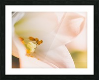 Easter Lily - Lilium Longiflorum - Flower Lily - Yellow White Close-Up Macro Picture Frame print