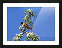 Oriole And White Blossoms Impression et Cadre photo