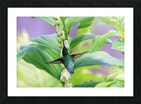 Hummer And Solomon Seal Picture Frame print