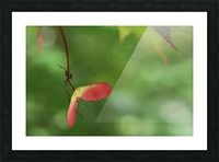 Japanese Maple Seed Picture Frame print