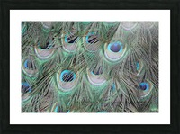peacock feather pattern plumage Picture Frame print