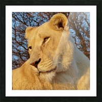 White Lioness Sunset 593 Picture Frame print