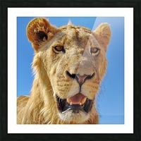 Lion close up square Picture Frame print