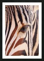 Zebra Eye 1873 Picture Frame print