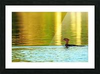 Merganser In Setting Sun Picture Frame print