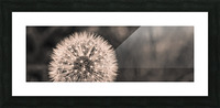 Late Season Dandelion 2 Picture Frame print