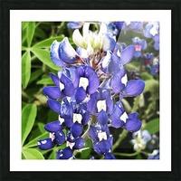 Bluebonnet Picture Frame print