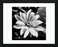 Daisy in bw Picture Frame print