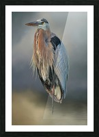 Great Blue Heron At Rest Picture Frame print