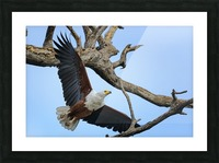 african fish eagle Picture Frame print