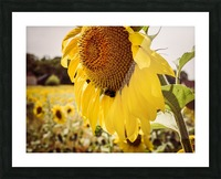 Sunflower with Bee Picture Frame print