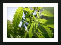 leaf with light Picture Frame print