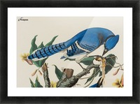 Blue Jay familly Picture Frame print