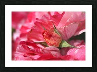 Rose Bud On My Petals Picture Frame print