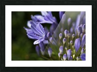 Agapanthus Blue Picture Frame print