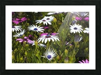 Daisies Of White And Pink Picture Frame print