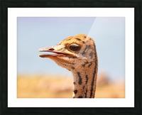 Baby Ostrich 5378 Picture Frame print
