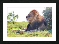 Lion Male in Addo 9240 Picture Frame print