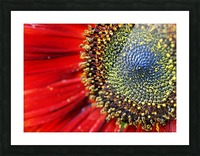 Spiral Center Of Sunflower Picture Frame print