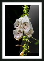 Foxgloves Flowers Picture Frame print
