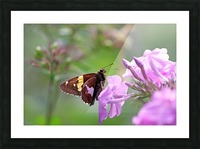 Silver Spotted Skipper Picture Frame print