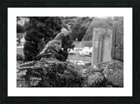Black and White Pigeon Picture Frame print