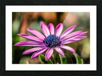 Daisy in Pink Picture Frame print