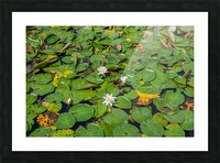 lily pads  Picture Frame print