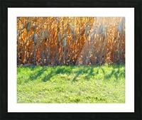 Cornstalk Shadows Picture Frame print