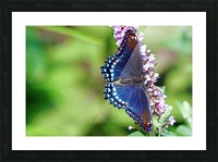 Red Spotted Purple Beauty Picture Frame print