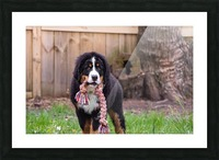 Bernese Mountain Dog Puppy 8 Picture Frame print
