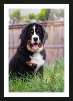Bernese Mountain Dog Puppy 1 Picture Frame print