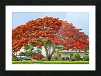 Royal Poinciana Tree Picture Frame print