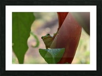 Peeping Frog Picture Frame print
