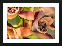 Blush Orchids Picture Frame print