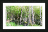 Swamp in Carolina Picture Frame print