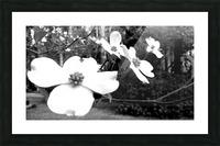 North Carolina Dogwood Flowers  Picture Frame print