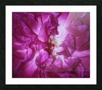 Beautiful Rose   Picture Frame print
