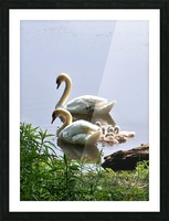 Swans and Sygnets on lake Picture Frame print