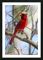 Cardinal in tree Picture Frame print