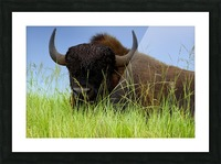 Female Bison Picture Frame print