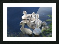 Sygnets Picture Frame print