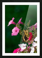 Butterfly on petunias Picture Frame print