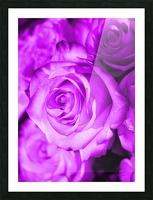 Rose purple  Picture Frame print