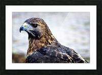 Hawk  Picture Frame print