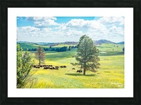 Custer State Park Bison Picture Frame print