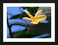 Yellow Plumeria  Picture Frame print