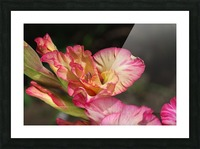 Gladiolus Display Picture Frame print