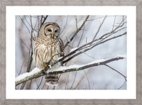 Barred Owl on a Snowy Branch Picture Frame print
